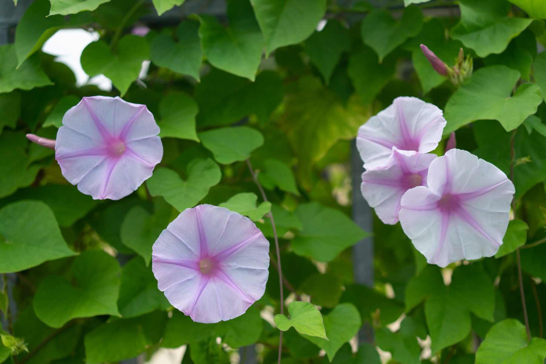 close up of morning glories